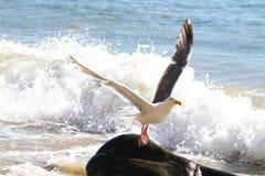 Gabbiano che toglie alla riva dell'oceano, Oregon fotografia stock libera da diritti