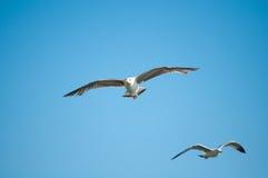 Gabbiano che vola in basso Fotografie Stock
