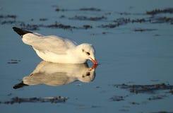 Gabbiano comune che si alimenta in acqua bassa Fotografie Stock Libere da Diritti