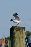 Gabbiano comune pronto a volare Fotografia Stock