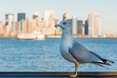 Gabbiano con gli edifici di Manhattan nei precedenti fotografia stock