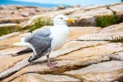 Gabbiano con l'ala rotta sulle rocce del granito nel parco nazionale di acadia fotografia stock