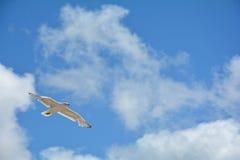 Gabbiano con molto cielo blu e le nuvole Fotografia Stock