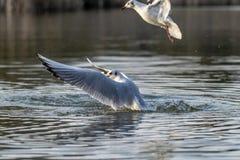 Gabbiano con testa nera in piume di inverno che prendono al volo da un lago fotografia stock