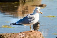 Gabbiano con un uccello di bambino su una pietra Immagini Stock