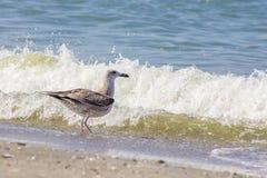 Gabbiano d'argento sulla spiaggia rumena fotografia stock