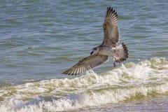 Gabbiano d'argento sulla spiaggia rumena immagine stock