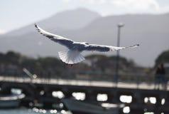 Gabbiano dans la mouette d'aperte d'ali d'annonce de volo en vol avec les ailes ouvertes Image stock