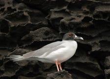 Gabbiano del Galapagos su lava Fotografia Stock