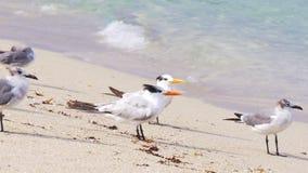 Gabbiano dell'oceano di Miami Beach di giorno di estate che si rilassa 4k Florida S.U.A. archivi video