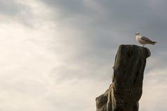 Gabbiano dell'uccello che si siede sul vecchio albero asciutto Fondo della nuvola Concetto Marine Dream Fotografia Stock Libera da Diritti