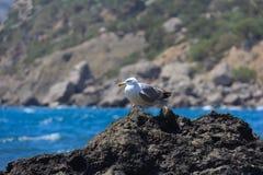 Gabbiano della Crimea su una roccia Fotografia Stock