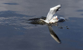 Gabbiano delle pinze del pesce Immagini Stock