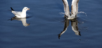 Gabbiano delle pinze del pesce Fotografia Stock Libera da Diritti