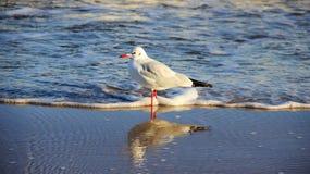 Gabbiano dello stile di vita uno sulla spiaggia baltica Libertà di vivere immagini stock