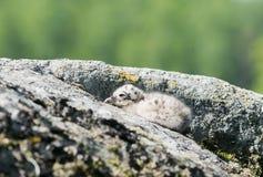 Gabbiano di aringhe europeo Fotografia Stock