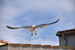 Gabbiano di atterraggio Fotografie Stock Libere da Diritti