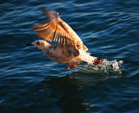 Gabbiano di mare Fotografia Stock