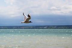 Gabbiano di mare Immagine Stock