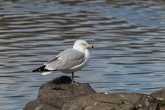 gabbiano di mare Anello-fatturato fotografie stock