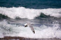 Gabbiano di mare (argentatus del larus) Immagine Stock