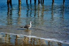 Gabbiano di mare che gode delle ondulazioni Immagini Stock
