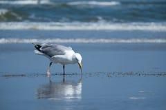 Gabbiano di mare che mangia uno spuntino alla spiaggia Fotografie Stock Libere da Diritti