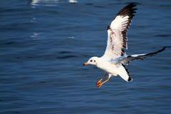 Gabbiano di mare di volo fotografia stock libera da diritti