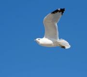 Gabbiano di mare nell'aria fotografie stock