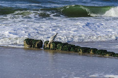 Gabbiano di mare su una pietra Immagini Stock Libere da Diritti