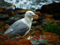 Gabbiano di mare sulla roccia Fotografie Stock