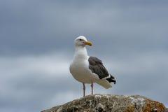 Gabbiano di mare sulla roccia fotografie stock libere da diritti
