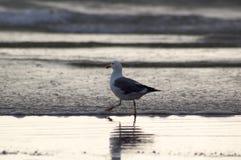 Gabbiano di mare sulla spiaggia Fotografia Stock