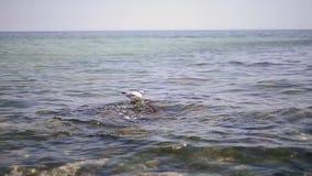 Gabbiano di mare sulla superficie del mare stock footage