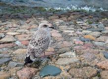 Gabbiano di mare vicino ad acqua fotografie stock libere da diritti