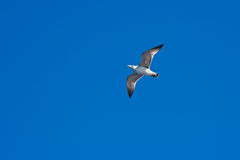 gabbiano di volo Fotografie Stock Libere da Diritti