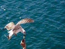 Gabbiano di volo Fotografia Stock