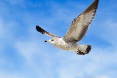 Gabbiano di volo Immagine Stock Libera da Diritti