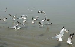 Gabbiano di volo Fotografia Stock Libera da Diritti