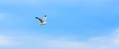 Gabbiano di volo Immagini Stock Libere da Diritti