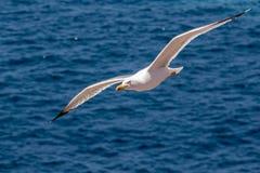 Gabbiano di volo Fotografie Stock