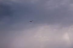 Gabbiano di volo Immagine Stock