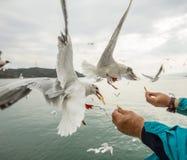 Gabbiano di volo che cattura alimento dalla mano umana Immagini Stock