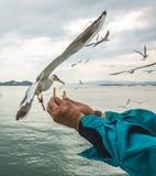 Gabbiano di volo che cattura alimento dalla mano umana Immagine Stock Libera da Diritti