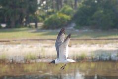 Gabbiano di volo che si libra vicino all'acqua della baia Fotografie Stock Libere da Diritti