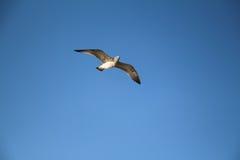 Gabbiano di volo in cielo blu Fotografia Stock Libera da Diritti