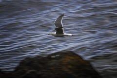 Gabbiano di volo con fondo vago fotografie stock libere da diritti