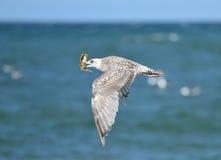 Gabbiano di volo con il granchio Fotografia Stock