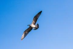 Gabbiano di volo contro il cielo blu fotografie stock libere da diritti