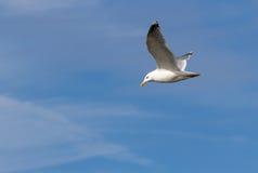 Gabbiano di volo contro principalmente il cielo blu Fotografia Stock